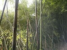 phyllostachys viridiglaucescens � wikip233dia