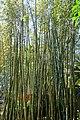 Bambusa oldhamii - Marie Selby Botanical Gardens - Sarasota, Florida - DSC01170.jpg