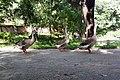Bangladeshi swans at Central Railway Building (01).jpg