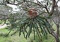 Banksia prionotes old flower.JPG