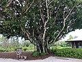 Banyan tree at Naples FL preserve.jpg