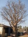 Baobab-2-vasai-fort.JPG