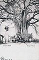 Baobab à Boma-Congo belge.jpg