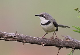 Bar-throated Apalis, Apalis thoracica, at Marakele National Park, Limpopo, South Africa (15781570104).jpg