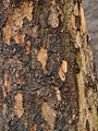 Bark of Cornelian cherry Cornus mas.jpg