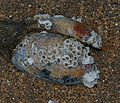 Barnacle encrusted clam - Flickr - S. Rae.jpg