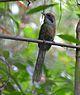 Baryphthengus ruficapillus Rufous-capped Motmot.JPG
