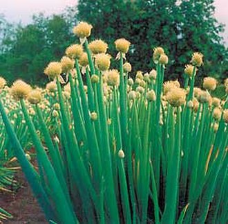 Allium fistulosum - Allium fistulosum at a farm