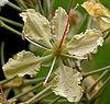 Bauhinia vahlii in Ananthagiri forest, AP W IMG 9204