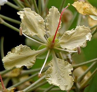Bauhinia - Bauhinia vahlii