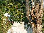 Baum mit Gesicht.JPG