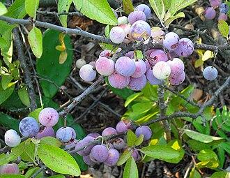 Prunus maritima - Image: Beach Plums