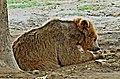 Bear in Lahore Zoo by Damn Cruze 4.jpg
