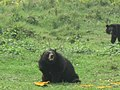 Bears in open area in বঙ্গবন্ধু শেখ মুজিব সাফারি পার্ক.jpg