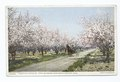 Beautiful Avenue of Apple Blossoms, Grand Junction, Colo (NYPL b12647398-70055).tiff