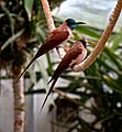 Bee-eaters (5102824187).jpg