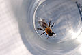 Bee in water (5997003760).jpg