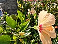 Bee on Hibiscus Leaf 01.jpg