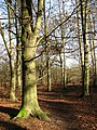 Beech trees - geograph.org.uk - 642673.jpg
