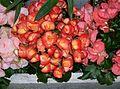 Begonia-3.jpg