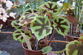 Begonia-masoniana Iron-Cross.JPG