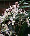 Begonia rhizocaulis Flower.jpg