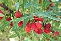 Berberis trifoliolata fruit.jpg