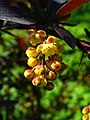Berberis vulgaris 'Atropurpurea' 002.JPG