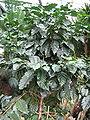 Berne Botanic garden Coffea arabica.jpg