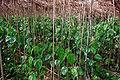 Betel Cultivation20020400 4.jpg