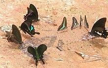 Assembramento di farfalle diurne sulla terra umida