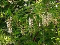 Białe akacje 01.jpg