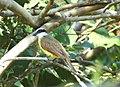 Bichofeo flycatcher (Henri Pittier, Venezuela).jpg