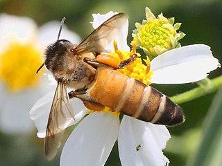 <i>Apis dorsata</i> Species of insect