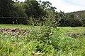 Bidens pilosa plant11 (15159441991).jpg