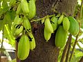 Bilumbi fruits.JPG