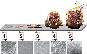 5 stages of biofilm development. Stage 1, initial attachment; stage 2, irreversible attachment; stage 3, maturation I; stage 4, maturation II; stage 5, dispersion. Each stage of development in the diagram is paired with a photomicrograph of a developing P. aeruginosa biofilm. All photomicrographs are shown to same scale.
