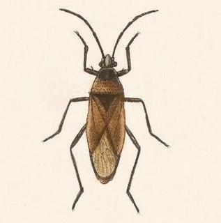 <i>Largus cinctus</i> Species of true bug
