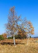 Birches - Hornisgrinde.jpg