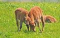 Bison calves get playful in Iowa! (27039990042).jpg