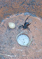 Black-widow-hourglass-eggsac-flowerpot.jpg