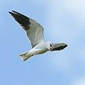 Black-winged (black-shouldered) kite, Elanus caeruleus, at Marievale, Gauteng, South Africa (45979035395).jpg