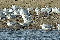 Black Backed Gull (15766246112).jpg