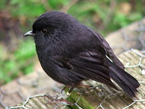 Conservation in New Zealand - A black robin. Saving the species was a major conservation success story.
