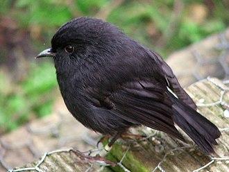 Captive breeding - Chatham Island Black Robin on Rangatira Island, New Zealand.