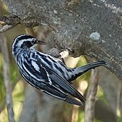 Black and white warbler (16961005415).jpg