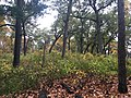 Black oak savannah in High Park, Toronto, Ontario, Canada, autumn 2020.jpg