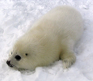 Harp seal - Whitecoated pup
