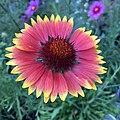 Blanketflower - Gaillardia aristata IMG 6099---.jpg