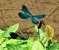 Blauflügel Prachtlibellen vor der Paarung 01.jpg